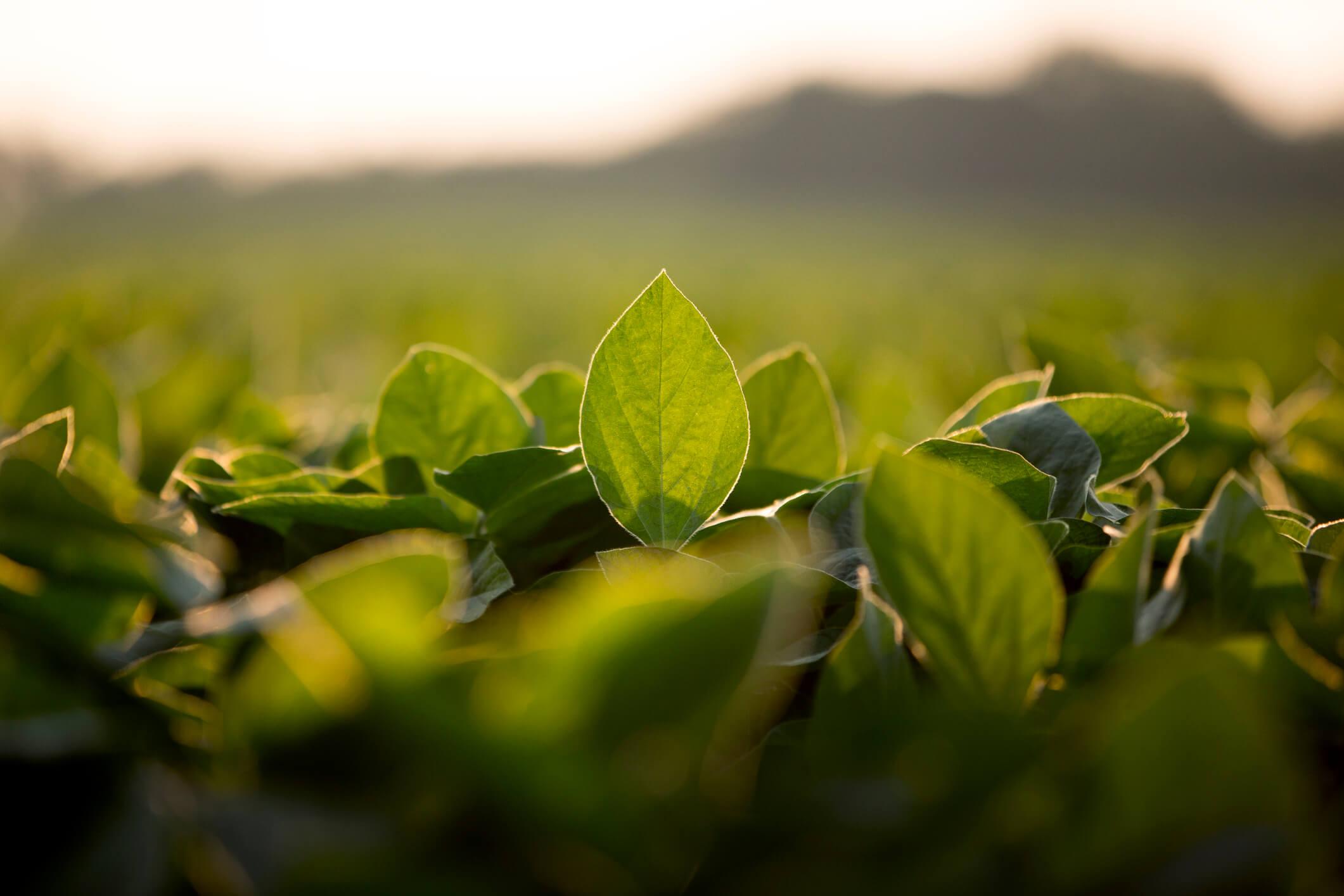 Sojablad på ett sojaplantage